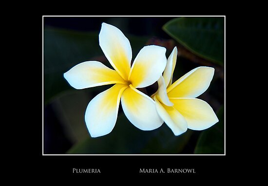 Plumeria - - Posters & More by Maria A. Barnowl