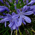 African lily, Agapanthus africanus by orkology