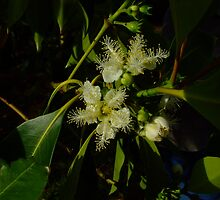 Brush box flowers, Lophostemon confertus by orkology