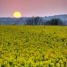 Sunset over a Suffolk rape / canola field by Christopher Cullen