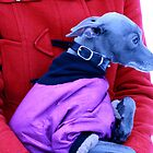 Gilbert's birthday guest - Italian greyhound Kulta by homesick