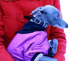 Gilbert's birthday guest - Italian greyhound Kulta by homesick