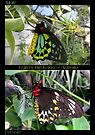 Butterfly (Australia) ~ Cairns Birdwing  ? & ? by Kimberly Chadwick