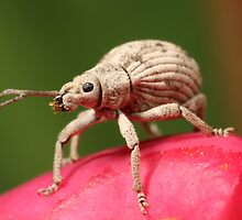 Beaded Weevil Beetle by Etwin