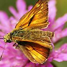 Skipper butterfly by loiteke
