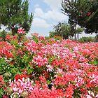 Summer Flowers in Jerusalem by Adam Isaacson