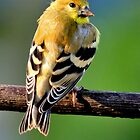 YELLOW GOLDFINCH by RoseMarie747