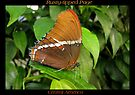 Butterfly (Central America) ~ Rusty-tipped Page by Kimberly Chadwick