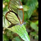 Butterfly (S. America, Costa Rica) ~ Glasswing by Kimberly P-Chadwick