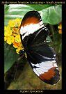 Butterfly (S. America) ~ H. heurppa Longwing by Kimberly Chadwick