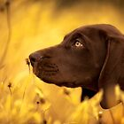 Gus - A GSP pup by ChrisMcKay