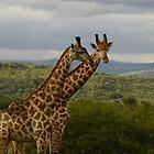 giraffe by petraE