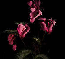 Cyclamen by Country  Pursuits