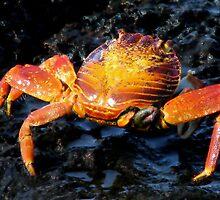 Galapagos Crab, Ecuador by suellewellyn