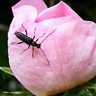 Coleoptera : Beetle by AnnDixon