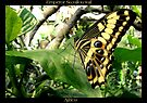 Butterfly (Africa) ~ Emperor Swallowtail by Kimberly Chadwick