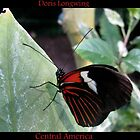 Butterfly (Central America) ~ Doris Longwing by Kimberly P-Chadwick