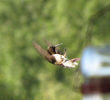 Hummingbird flying backward by tmarie1