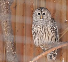 The Barred Owl by MarieG