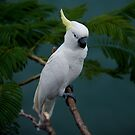 Yellow Crested Cockatoo by fnqphotography