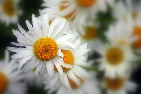 Love me, Love me not macro mini daisies by kremphoto
