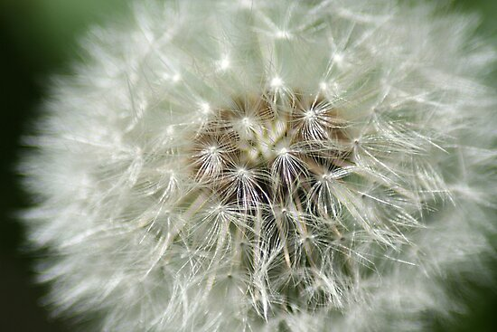 Dandelion Perfection of Beauty by kremphoto