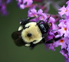Buzzy Busy Bumble Bee Macro by kremphoto