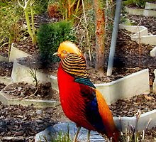 Touched By The Sun - Golden Pheasant - NZ by AndreaEL