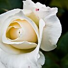 White Rose From Above by montydawson