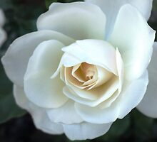 A White Rose by BPhotographer