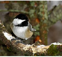Black-capped Chickadee in Lichen Covered Tree Photographic Print