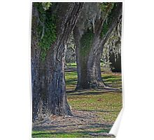 Two Live Oaks Poster