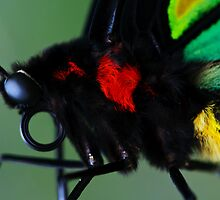 Cairns Birdwing II by Damienne Bingham