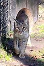 Bobcat #2 by AuntDot