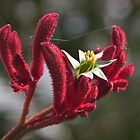 Native plant #1-Red Kangaroo Paw (Anigozanthos Rufus) by Odille Esmonde-Morgan