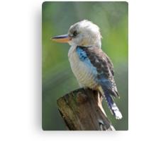 Blue Winged Kookaburra. North Queensland, Australia. Metal Print