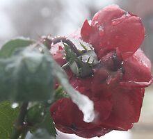 One frozen garden rose by YasLalu