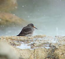 Purple Sandpiper - rare visitor to the rocky shores of Lake Michigan. by Carl J. Bendorf