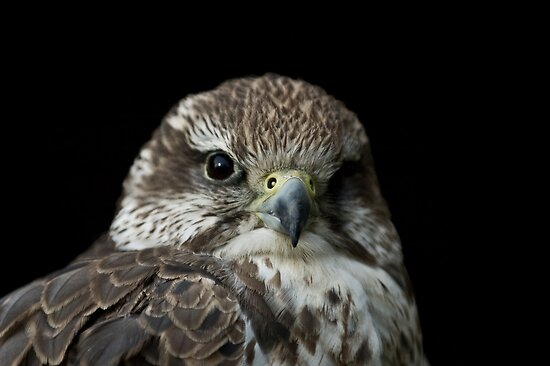 Bird Of Prey by laurav