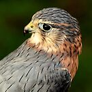 Merlin by Norfolkimages