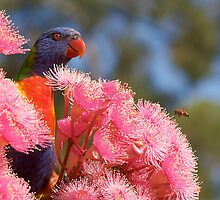 The Bird, the Bee and the Gum Blossoms ~ Rainbow Lorikeet by Robert Elliott