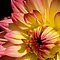 Dahlia Delight by Ray Clarke