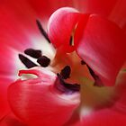 Red and white tulip by douwe
