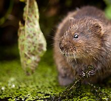 The Water Rat by Peter Denness