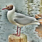 BLack Headed Gull  by Lilian Marshall