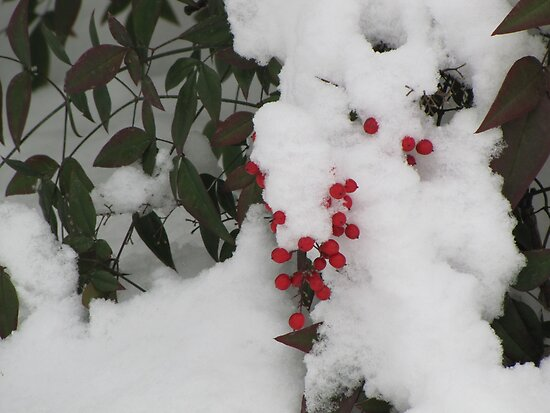 Snow Covered Nandina Bush - 4 by tmarie1