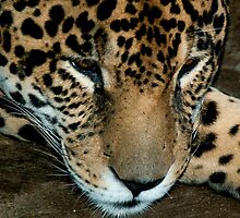 Resting Jaguar - - Cards & iPad Cases by Maria A. Barnowl