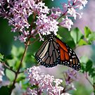 Monarch on the Lilacs by Diane Blastorah