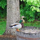 Mallard Duck Couple by KevinsView