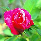Hot pink rosebud by  B. Randi Bailey